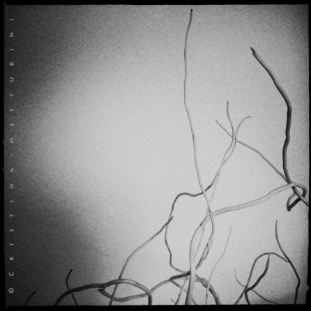 cmesturini_roots_7_640px